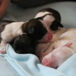 Chế độ dinh dưỡng cho chó sơ sinh bị mất mẹ dưới 2 tháng tuổi