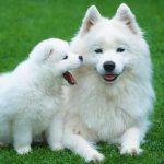 Cách nuôi chó con trong thời kỳ chưa cai sữa