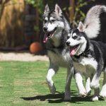 Các biểu hiện nghiễm bệnh ở chó