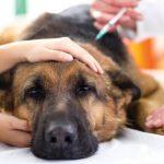 Điều trị bệnh u nhú ở chó