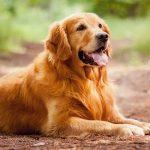 Tìm hiểu giống chó Golden Retriever