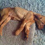 Điều trị bênh da vàng ở chó
