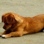 Điều trị bênh sán dây ở chó
