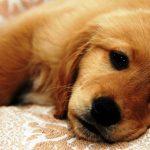 Một số căn bênh thường gặp ở chó