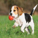 Dạy chó cách nhặt đồ chơi
