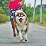 Cách huấn luyện chó đi theo và ngồi đơn giản