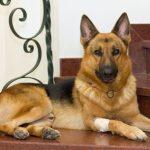 Điều trị thiếu Vitamin B ở chó Becgie
