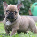 Tìm hiểu giống chó Bun Pháp