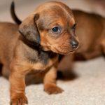 Cách chọn và nuôi chó con