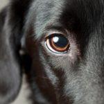 Cách chăm sóc mắt cho chó đúng