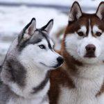 Cách nuôi và huấn luyện chó Husky