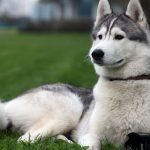 Cách nuôi giống chó Alaska