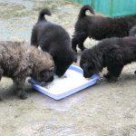 Cách thuần hóa chó bắc hà