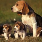 Một số giống chó đẹp và dễ nuôi