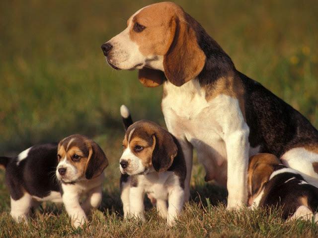 cho-beagle