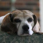 Điều trị bệnh phế quản ở chó
