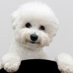 Cách nuôi giống chó Bolognese