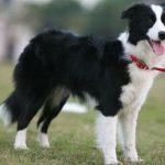 Cách nuôi giống chó Border Collie