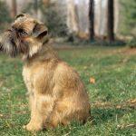 Tìm hiểu giống chó Brussels Griffon