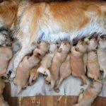 Điều trị ngộ độc sữa mẹ ở chó con