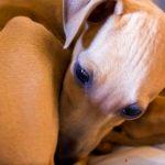 Làm gì để chó không liếm vào vết thương