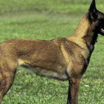 Tìm hiểu về loài chó Malinois