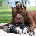 Cách chọn mua chó pitbull