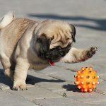 Tìm hiểu giống chó Pug