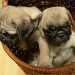 Cách nuôi giống chó Pug