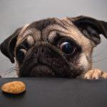 Nguyên nhân khiến chó biếng ăn