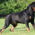 5 loài chó nguy hiểm nhất hiện nay