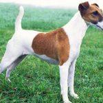 Tìm hiểu giống chó Toy Fox Terrier