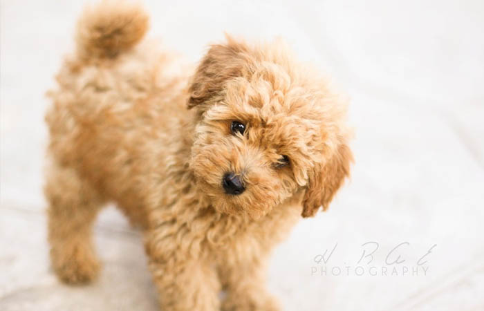 cho-toy-poodle