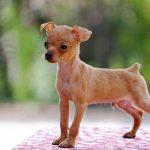 Điều trị thiếu canxi và còi xương ở chó