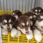 Lựa chọn thức ăn cho chó Alaska
