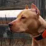 Các căn bệnh về tai ở chó