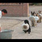 Top 10 giống chó có trí thông minh nhất thế giới