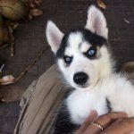 Cách nhận biết một chú cho Husky thuần chủng