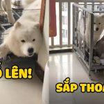 NGÁO cùng SAM hợp sức tìm cách chạy thoát và cái kết xứng đáng 🤣  Pets TV