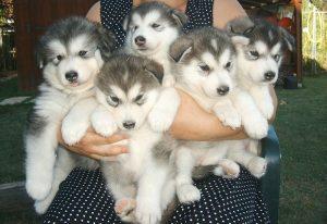 Kinh nghiệm nuôi chó Alaska