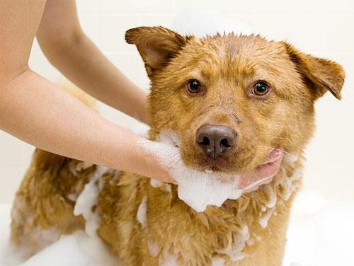 Không nên dùng sữa tắm của người dùng cho chó